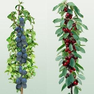 columnar fruit trees columnar fruit plants fruit 300x300 - Drzewka owocowe KOLUMNOWE Duo-v  Mini