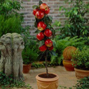 red columnar apple tree 450w grande 300x300 - Drzewka owocowe KOLUMNOWE Duo-v  Mini